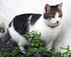 aegean cat pictures - Google Search
