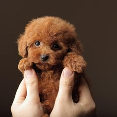 Toy Poodles are ideal dogs for families with children. After all, toy poodles really look like real toys. Toy Puppies, Cute Puppies, Female Dragon, Dragon Lady, Tea Cup Poodle, Toy Poodles, Poodle Grooming, Dog Grooming Business, Brighten Your Day
