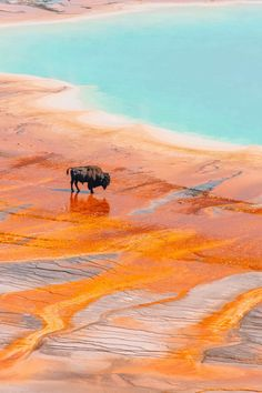 Bison and Grand Prismatic Hot Spring at Yellowstone National Park Art Print by feralscience Grand Teton National Park, Yellowstone National Park, Alaska Travel, Travel Usa, Alaska Cruise, Places To Travel, Places To Visit, Road Trip Map, Road Trips