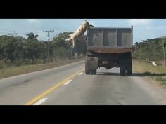 Pig Refuses to Be Bacon, Jumps From Truck En Route to Slaughterhouse
