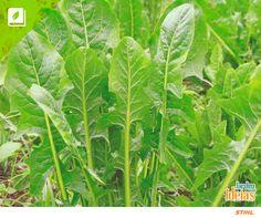 Você já ouviu falar na catalônia? Esta verdura é rica em cálcio, ferro, fósforo, fibras, além de vitaminas A e C do complexo B.