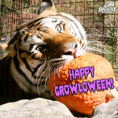 Happy Growloween everyone!  See how the cats celebrate here: http://www.youtube.com/watch?v=PcdKmZc6-vo