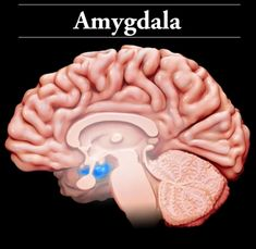 Amygdala: Located near the hippocampus in the frontal portion of the temporal lobes, the amygdala: are involved in the formation and storage of information related to emotional events; facilitate long-term memory formation; convert and retain learning from pleasure responses; and help us recognize when we are in danger or fearful of something. Injury to the amygdala may affect: memory formation; emotional sensitivity; learning & retention; depression; and anxiety.