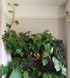 Rhaphidophora tetrasperma, Monstera deliciosa variegata, Philodendron gloriosum, Adiantum capillus veneria, Colocasia sp. and some I don't recognize, like that lovely dark green speckled one in the top right! @_@ #plantwishlist I wish I had room for these wall pockets
