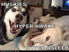 Huskies only come with two settings - Funny Husky Meme - Funny Husky Quote #husky #funny #funnyhusky -  No truer words have been spoken!! Mine is the love of my life but definately full of piss & vinegar!! Husky Humor, Husky Quotes, Funny Husky Meme, Funny Girl Meme, Funny Memes About Girls, Funny Dogs, Memes Humor, New Memes, Funny Pictures With Captions