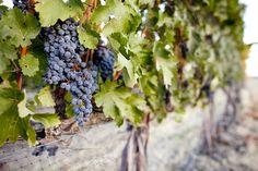 Washington Winemakers are Crushing Big on Harvest 2012 - PHOTOS