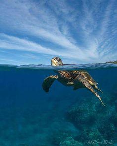 Sea Turtle - Ernie Black
