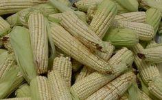 DuPont está lista para sembrar maíz transgénico en México