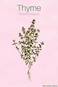 Thyme Uses and Health Benefits as a Medicinal Herb