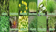 C24/7 Natura-Ceuticals | Your Ultimate Guide to Health & Wealth Super Green Food, Blessed Thistle, Barley Grass, Super Greens, Wheat Grass, Greens Recipe, Spirulina, Lemon Grass, Cilantro