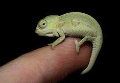 Baby Chameleon On My Finger