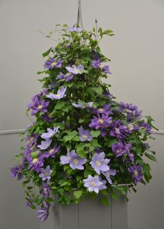 Raymond Evison Clematis look fab in baskets.