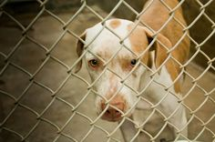 GONE --- Hound mix female less than a year old Kennel A10 Available NOW**** $51 to adopt   Located at Odessa, Texas Animal Control. https://www.facebook.com/speakingupforthosewhocant/photos/pb.248355401855372.-2207520000.1411758049./847711845253055/?type=3&theater