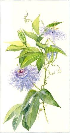 passiflora 39 poppet 39 pinterest. Black Bedroom Furniture Sets. Home Design Ideas