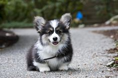 A fluffy Corgi puppy (The fluffy is actually considered a genetic defect & aren't used for breeding) Welsh Corgi Puppies, Cute Puppies, Cute Dogs, Dogs And Puppies, Teacup Puppies, Dachshund Puppies, Shepherd Puppies, Chihuahua Dogs, Beautiful Dogs