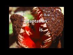 Hydnora Africana - Hydnora Africana [ JornalCiencia ] Nativa do Sul da África, esta planta parasita exala um cheiro que é muito comparado ao de fezes, necessário para atrair os besouros escaravelhos e outros polinizadores. Ela cresce no subterrâneo e a única parte visível dela é a grande flor. O mais interessante é que partes da planta são comestíveis e muito apreciadas em algumas culturas. Você comeria uma planta que cheira a fezes?