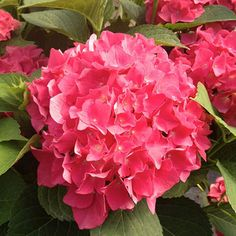 Beautiful, full blooms make Wedding Gown hydrangea, a dwarf flowering shrub, a must-have in the garden.