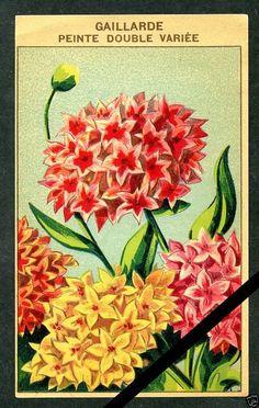 Antique French Seed Pack Label 1920's Flower Botanical Gaillarde 31 | eBay