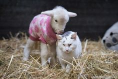 Orphaned Lamb Found Lying On The Road All Alone
