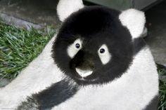 Reverse Panda..