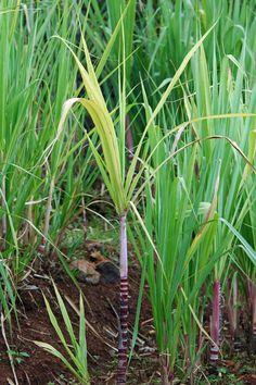 canne a sucre | Le Jardin botanique de Madère - Canne a sucre (Saccharum officinarum ...