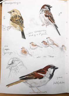 Common European Birds - An Ongoing Painting Project 3 Bird Drawings, Realistic Drawings, Posture Drawing, Common Garden Birds, Nature Sketch, Bird Illustration, Illustrations, Nature Journal, Animal Sketches