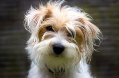 Jack Russell Terrier with long hair. ***If I let Jack's hair get crazy he'll get chicken hair like mine****