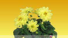 Timelapse of Opening Yellow Dahlia Flower.
