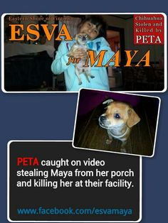 In Virginia Peta was caught on camera stealing a families pet chihuahua and put her down immediately at the facility!  This is ridiculous.  She wasnt homeless or a loose dog. Please visit the Facebook page. Www.facebook.com/esvamaya