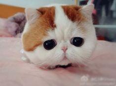Snoopybabe, самая симпатичная и грустная кошка с большими глазами когда-либо!