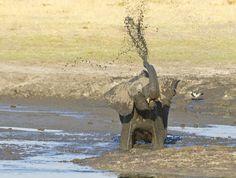 """'Joy.' Young Elephant enjoys the water at Ngweshla waterhole, Hwange NP, Zimbabwe, 5th September 2011."" Photo by Ken Watkins, via 500px."