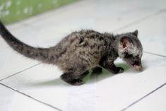 Harga Musang Pandan Rase Biul Binturung Akar