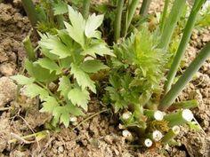 Livèche ou plante à Maggi
