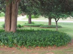 Creeping Myrtle ground cover.