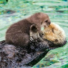 This adorable baby sea otter signifies a big cause for celebration - Baby Otter Cute Funny Animals, Cute Baby Animals, Animals And Pets, Mother And Baby Animals, Wild Animals, Baby Sea Otters, Otters Cute, Otter Love, Tier Fotos