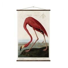 This is an American Flamingo fine art print by John James Audubon in the ever recognizable pink. It is one of 345 images in his beautiful vintage book Birds Of America. Lawrence Alma Tadema, Painting Frames, Painting Prints, Art Prints, Nature Prints, Animal Prints, Art Paintings, Canvas Prints, Jackson Pollock