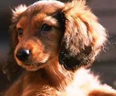 Pet dog Desktop - Miniature Dachshund wallpaper (second episodes): long-haired Dachshund Dog - Dog Star Wallpapers (1024*1024)