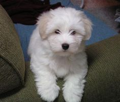 Share your Coton de Tulear stories and photos with others. Tell us all about your Coton dog. Havanese Puppies, Cute Puppies, Cute Dogs, Dogs And Puppies, Maltese Dogs, Doggies, Coton De Tulear Puppy, Baby Animals, Cute Animals