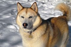 7 Dogs That Looks Like Wolves The Most