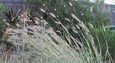 Dichanthium sericeum Grass, Environment, Garden, Centre, Plants, Garten, Grasses, Lawn And Garden, Gardens
