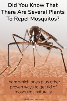 Did you know that there are several plants to repel mosquitos? Learn which ones get rid of mosquitos for good as well as other proven ways to get rid of mosquitos naturally. Front Porch Plants, Repel Mosquitos, Weed Control, Bug Control, Get Rid Of Ants, Insect Repellent, Garden Pests, Natural Living, Fleas