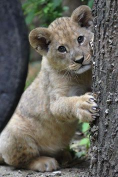 Watch out for those claws - we reckon this lion cub could throw one serious temper tantrum!