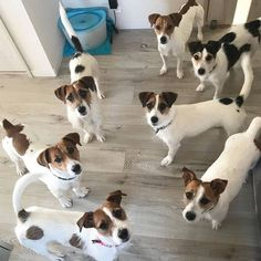 Jack Russell Puppies Jack Russells flock to you as if they innately understand that you are a crazy jack russell person. Perros Jack Russell, Chien Jack Russel, Jack Russell Puppies, Mini Jack Russell, Jack Russell Terriers, Parson Russell Terrier, Terrier Puppies, Bull Terrier Dog, Maltese Puppies