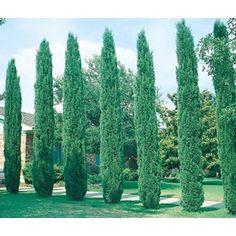 11.1-Gallon Italian Cypress Feature Tree (L3291) Nursery