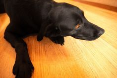 If he hasn't already, your dog will undoubtedly have an accident on your wood floors at some point. Knowing how to properly clean the pee off your floors will prevent urine odor from permanently taking hold while saving your wood and your sanity.