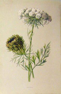 botanical print vintage | carrot white