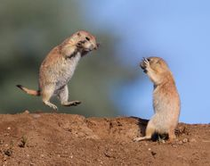 Prairie dogs fighting