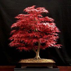 Japanese Maple (Acer Palmatum / Momiji)⠀ By Hans Van Meer (Netherlands )