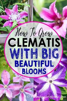 Clematis is a flowering vine that is perennial and grows in part shade. It has such beautiful flowers and is easy to grow making it a great plant for garden landscaping. Find out more about how to grow and prune Clematis, as well as some of the best varieties.