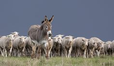 Protect Your Flock With Guard Donkeys - Hobby Farms
